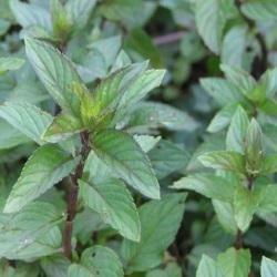 Mint - Peppermint (Mentha Piperita)