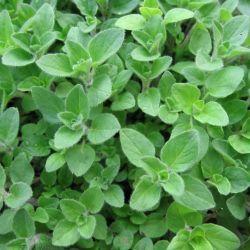 Oregano, Greek (Origanum vulgare subsp.)