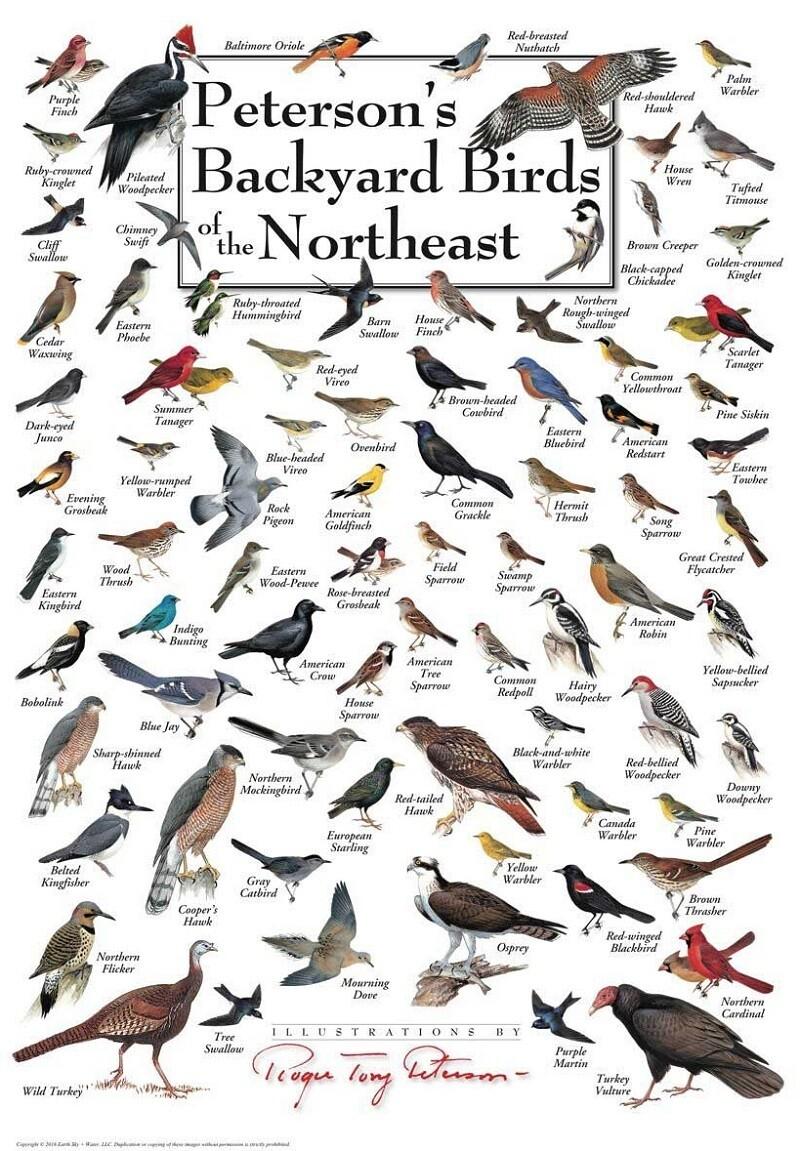 Backyard Birds of the Northeast Poster