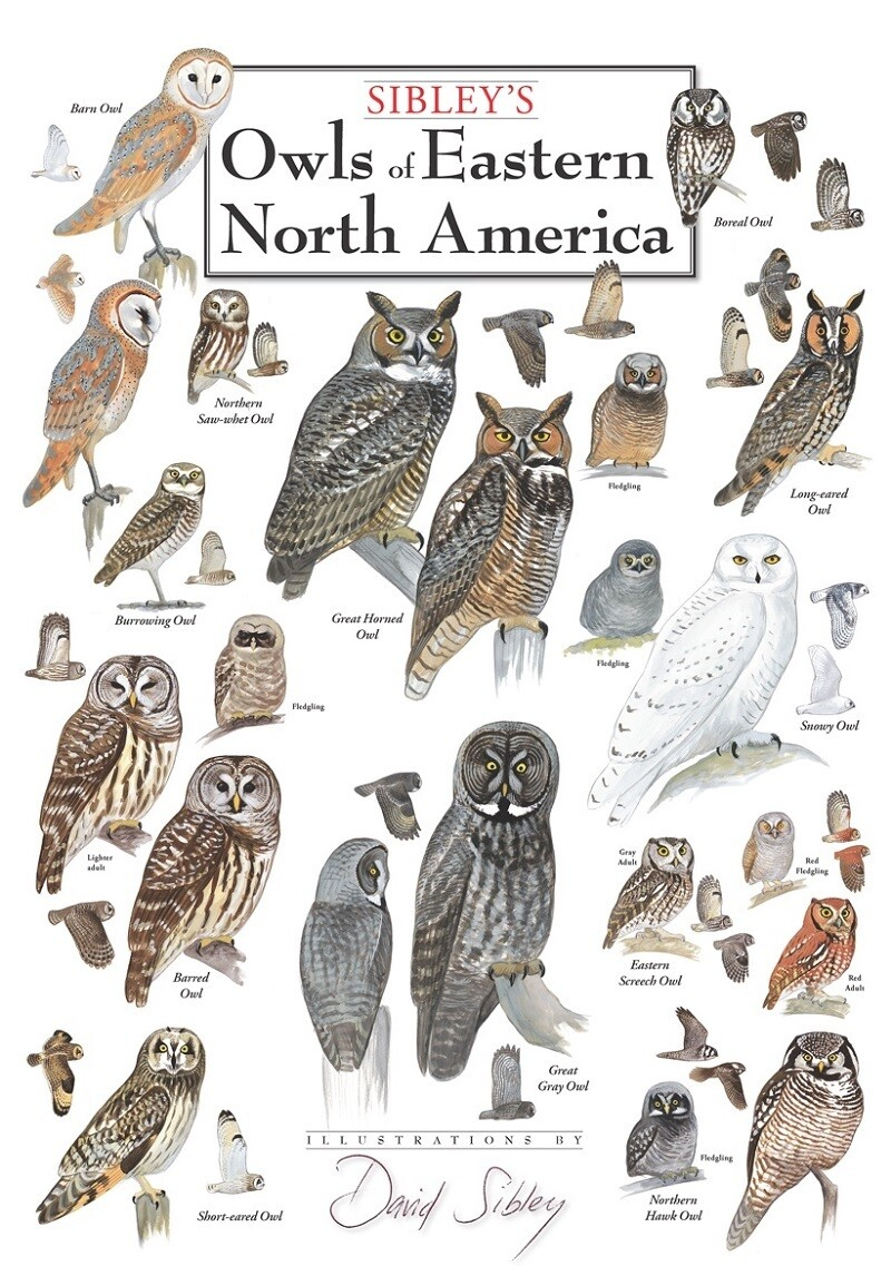 Owls of Eastern North America Poster