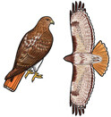 Jabebo Red-tailed Hawk Earrings