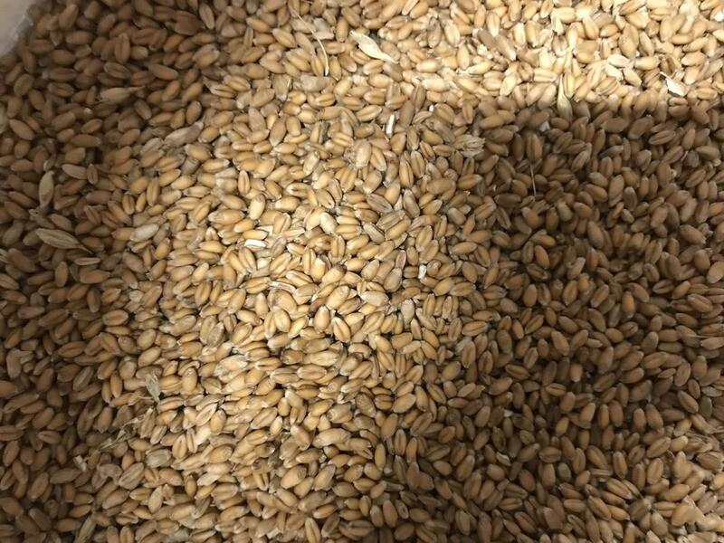 Non-GMO Soft Red Winter Wheat