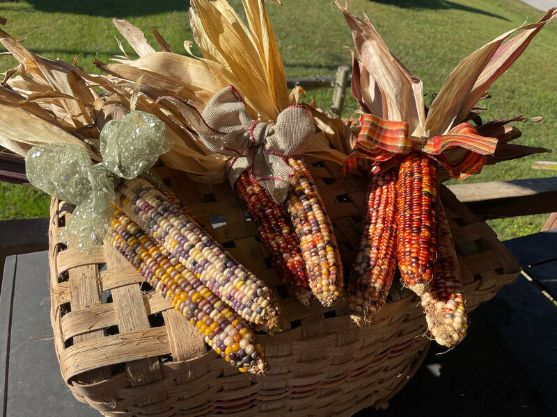 Indian corn, Bundle Of 3 With Bow And Hanger