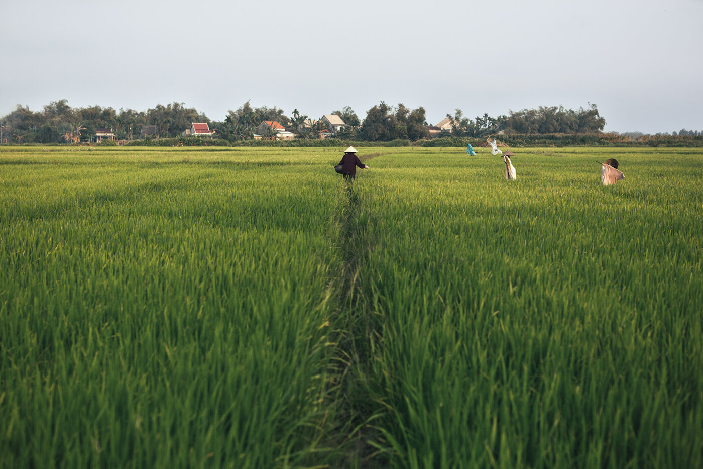 Ricefield in Vietnam