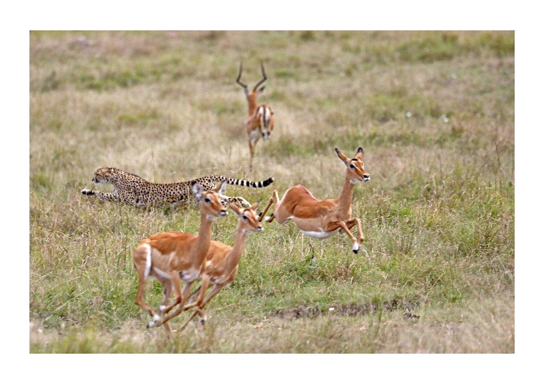 Jagender Gepard