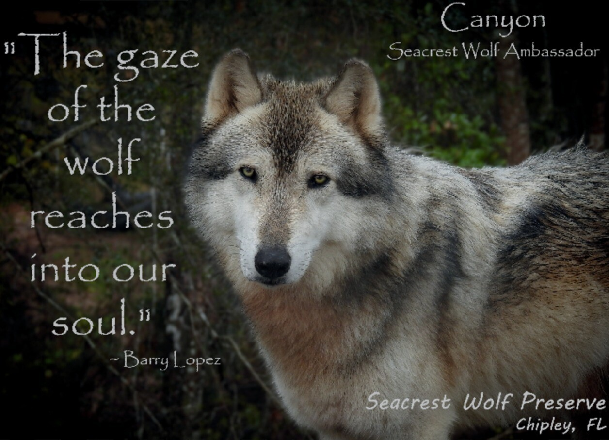 """""""The gaze of the wolf reaches into our soul."""" Sticker"""