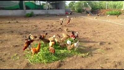 Organic Desi Poultry (Net Meat) - 1000g