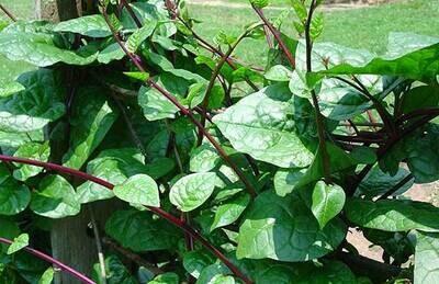 Organic Malabar Spinach - 150g