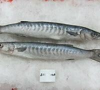 White Barracuda / Safaid Kund - 1000g (Approx 1-2 Pcs/Kg)