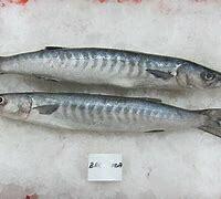 White Barracuda / Safaid Kund - 1000g (Approx 1-2 Pcs/Kg)