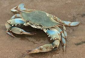 Blue Crab - 1000g (Approx 8 - 10 Pcs/Kg)