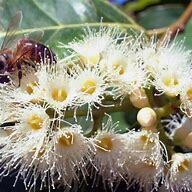Honey Eucalyptus - 370g