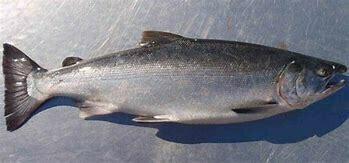 Salmon (Indian) / Ramas - 1000g (1 Pc/Kg)