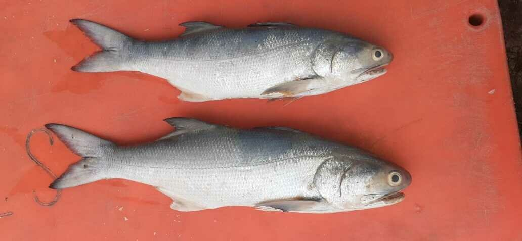 Salmon (Pakistani) / Rawas - 1000g (1 Pc/Kg)