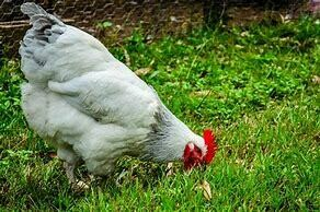 Free Range Desi Chicken (Meat) - 1000g
