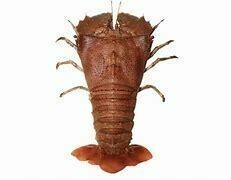 Sand Lobster - 1000g (Approx 3 - 5 Pcs/Kg)
