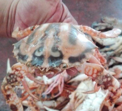 Red Crab - 1000g (Approx 8-10 Pcs/Kg)