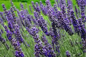 Lavendel munstead plant