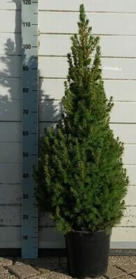 Picea Glauca Conica 110cm
