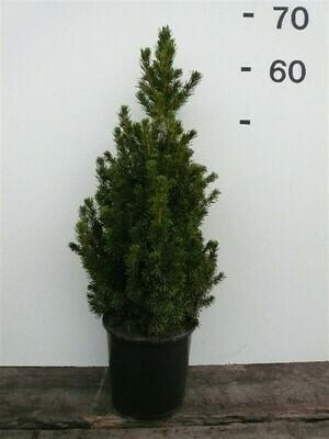 Picea Glauca Conica 60cm