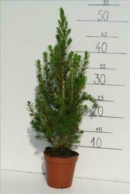 Picea Glauca Conica 35cm