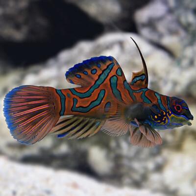 Red Manderinfish Green Fin