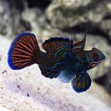Red Manderinfish Bluefin