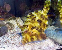Matted Aiptasia Eating Filefish