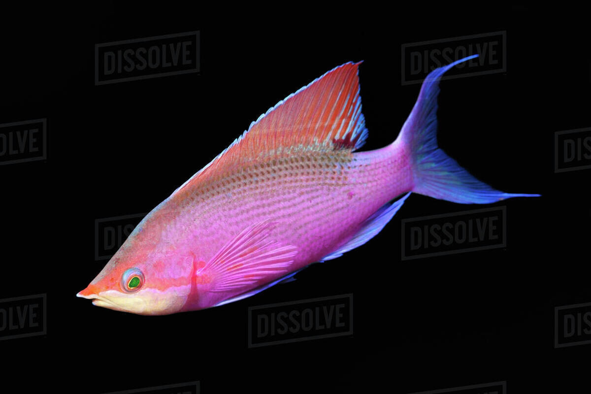 Purple Queen Anthias