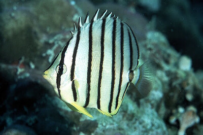 Eight Banded Butterflyfish