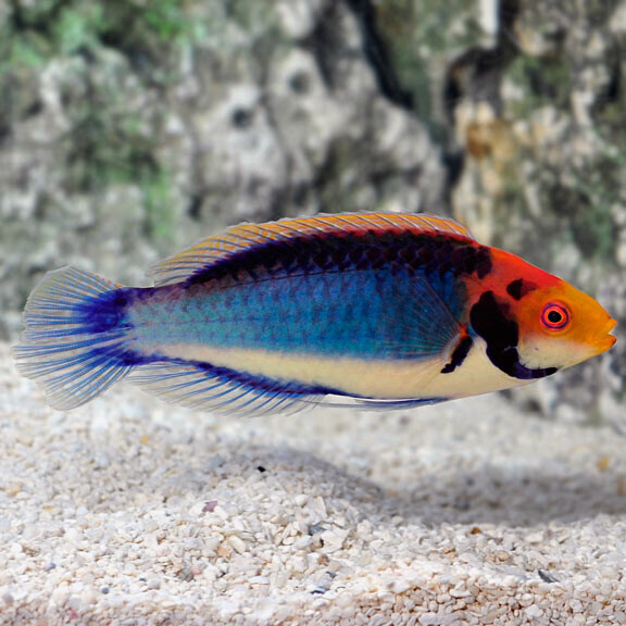 Red Headed Fairy Wrasse
