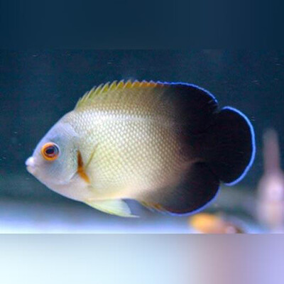 Half Black Angelfish