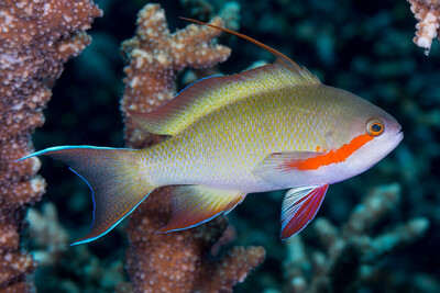 Huctii Anthias