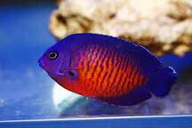 Coral Beauty Angelfish Medium