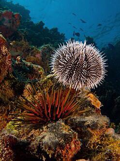 Coloured Sea Urchin