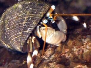 White Leg Hermit Crab