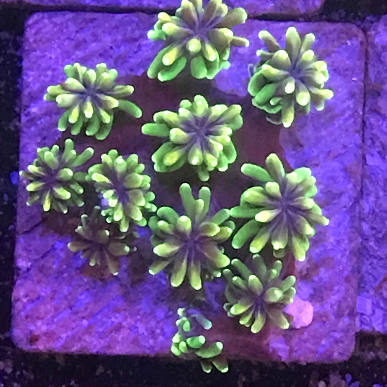 Galaxae Coral (24)
