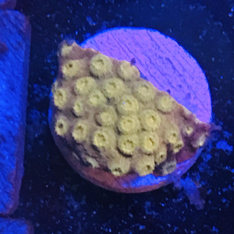 Mustard Cyphastrea (37)