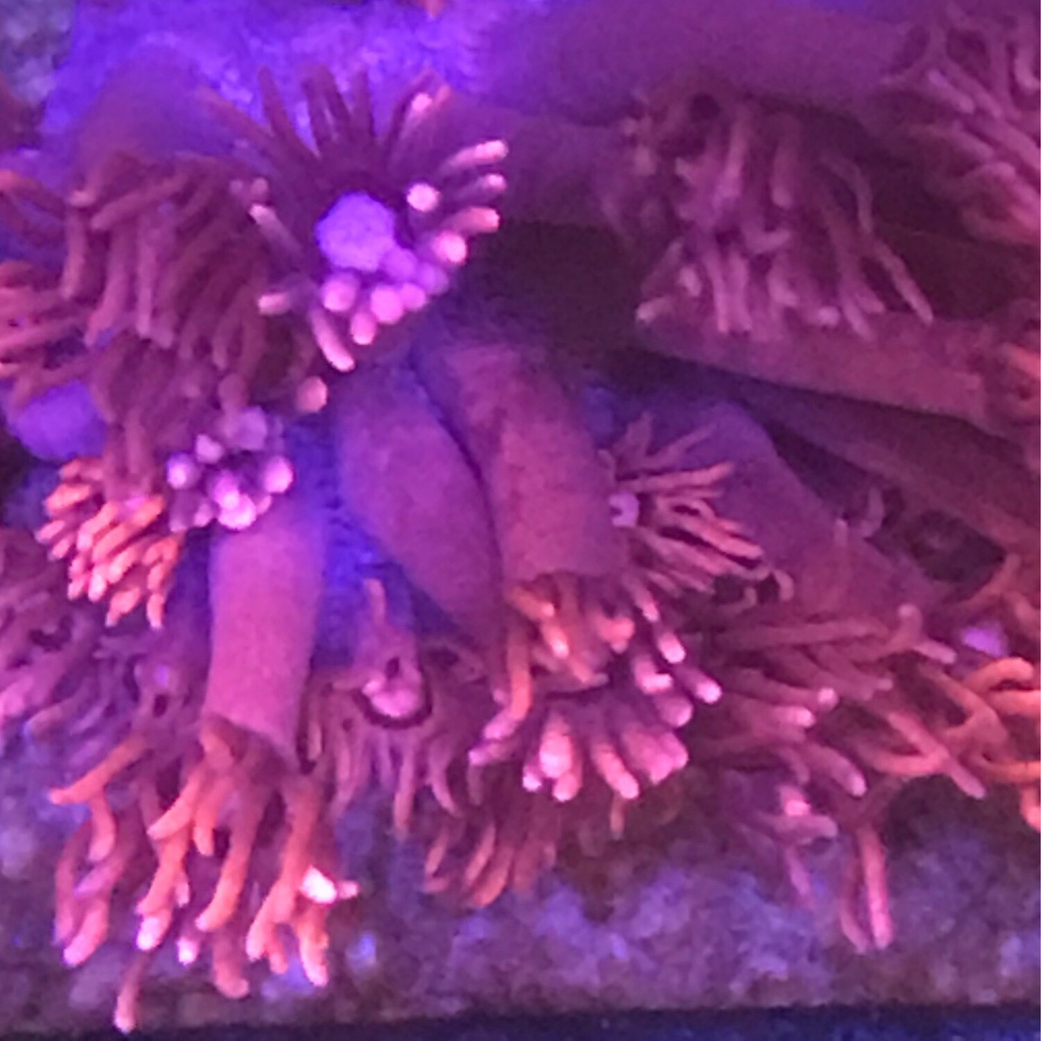 Red Goniopora Long Polyp (14)