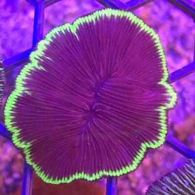 UFO Fungia Plate Coral