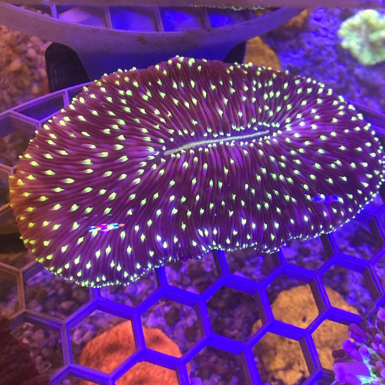 Starlight Fungia Tongue Coral