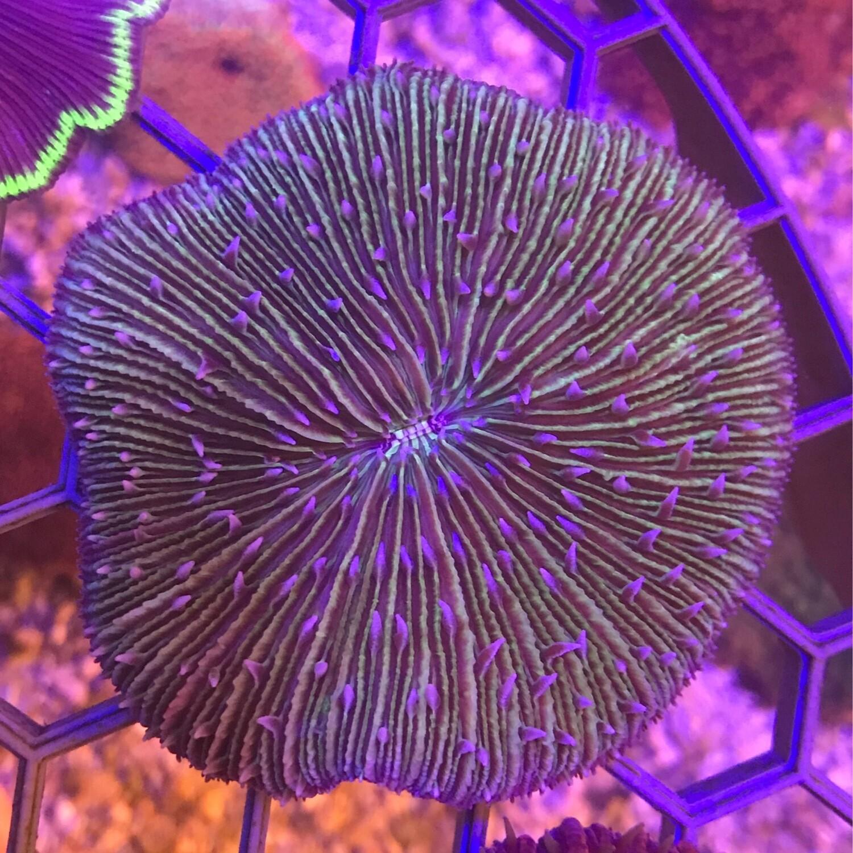 Fungia Plate Coral