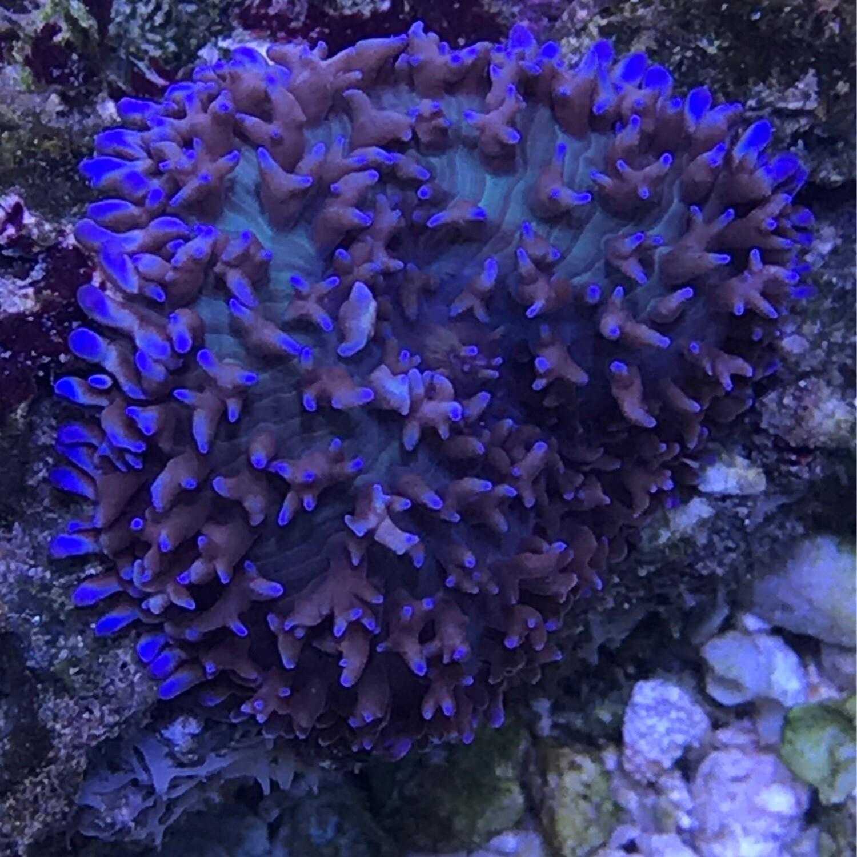 Blue Tip Fuzzy Mushroom