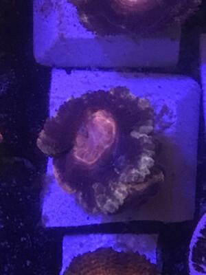 Ultra Flouro Acan (28)