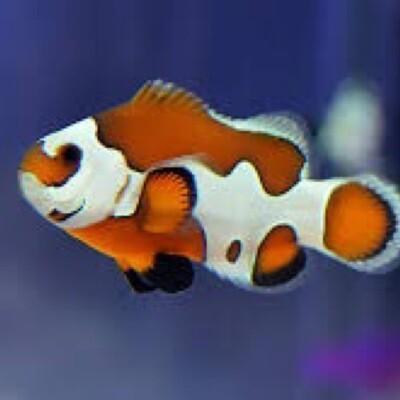 Orange Storm Clownfish