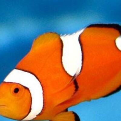 True Percula Misbar Clownfish