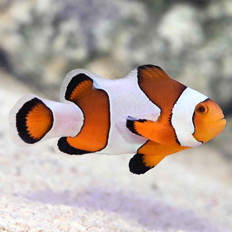 Wide Bar Gladiator Clownfish