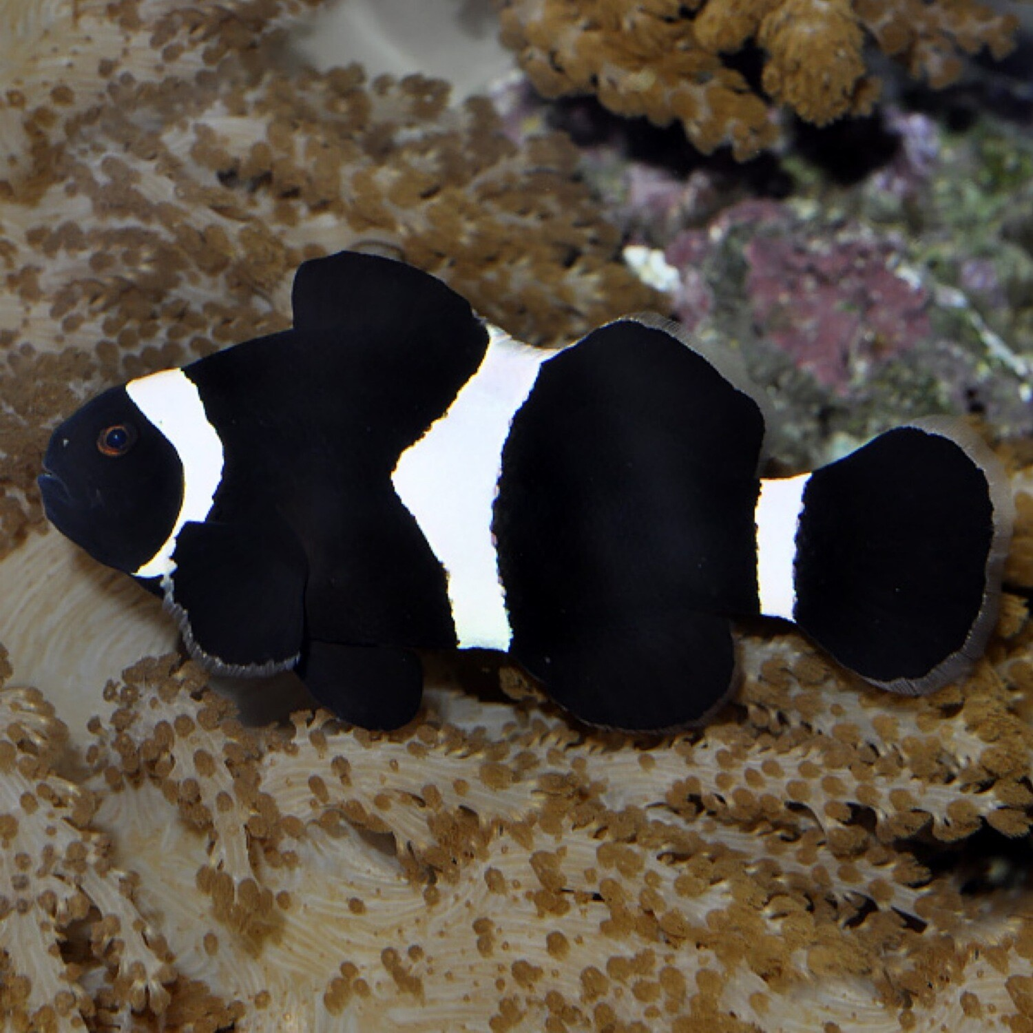 Darwin Black Clownfish