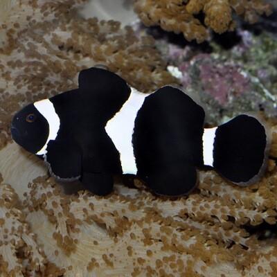 Darwin Black Clownfish