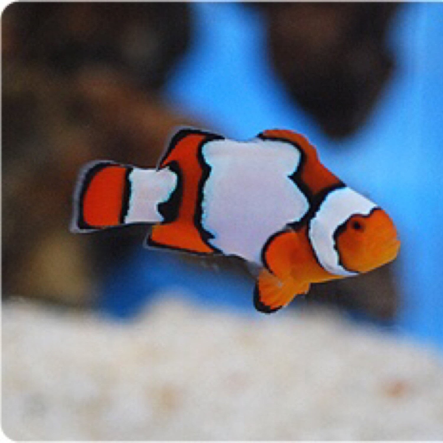 Snow Onyx Clownfish